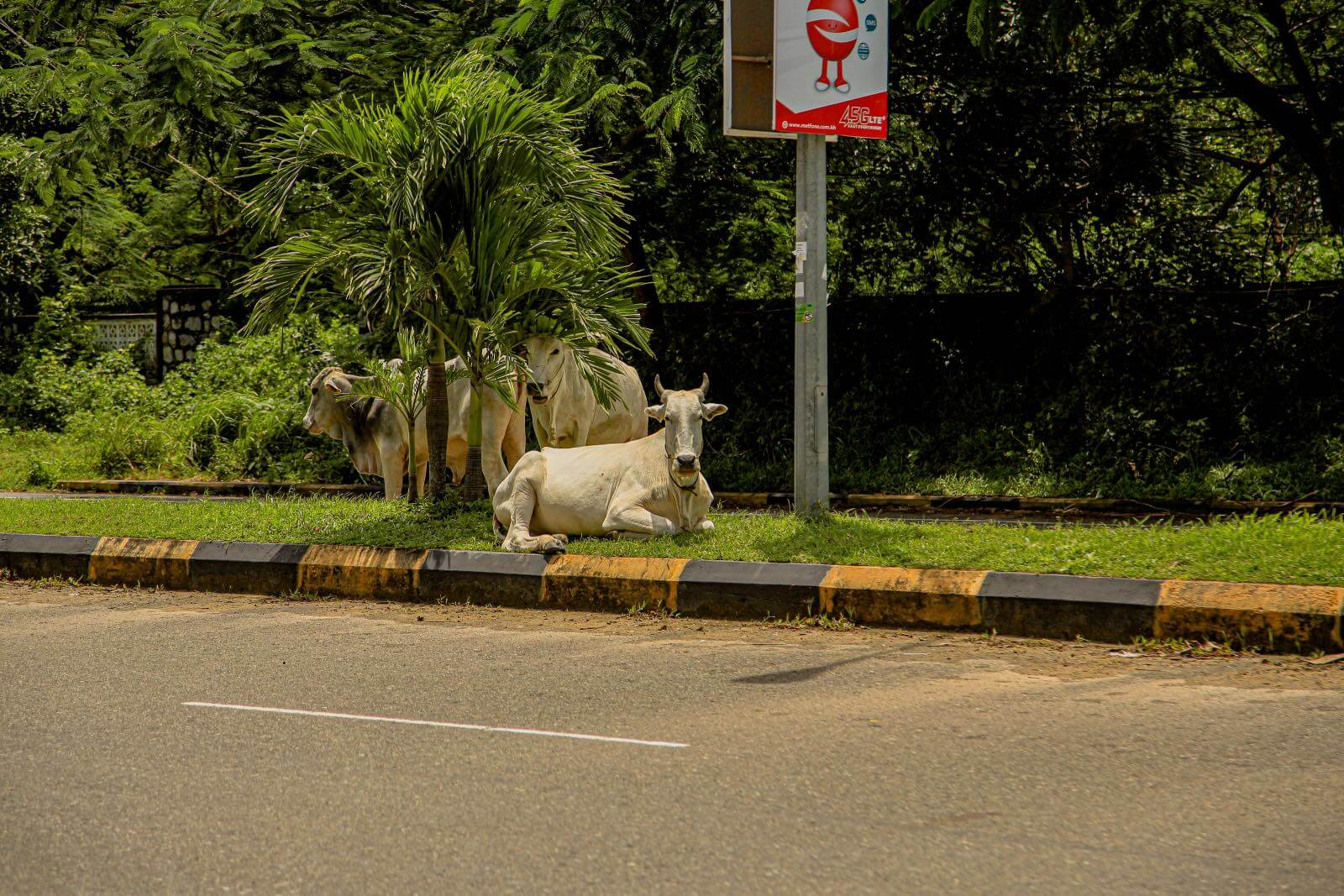 Cow on the side of the road in Kampot, Cambodia