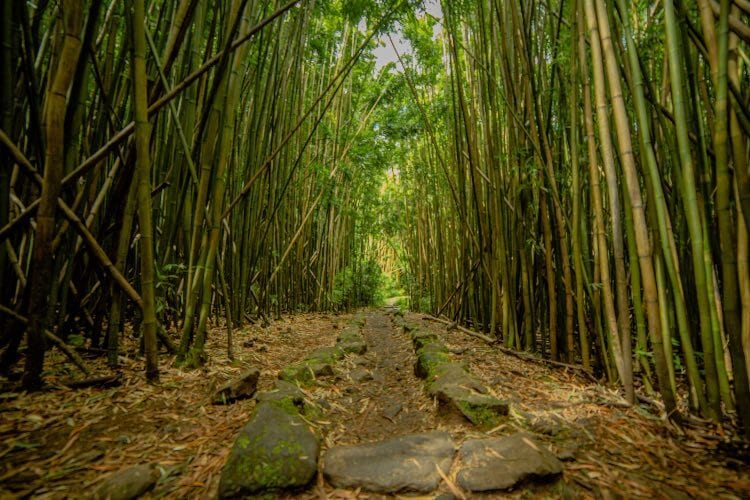 A bamboo forest on the Pipiwai Trail Maui