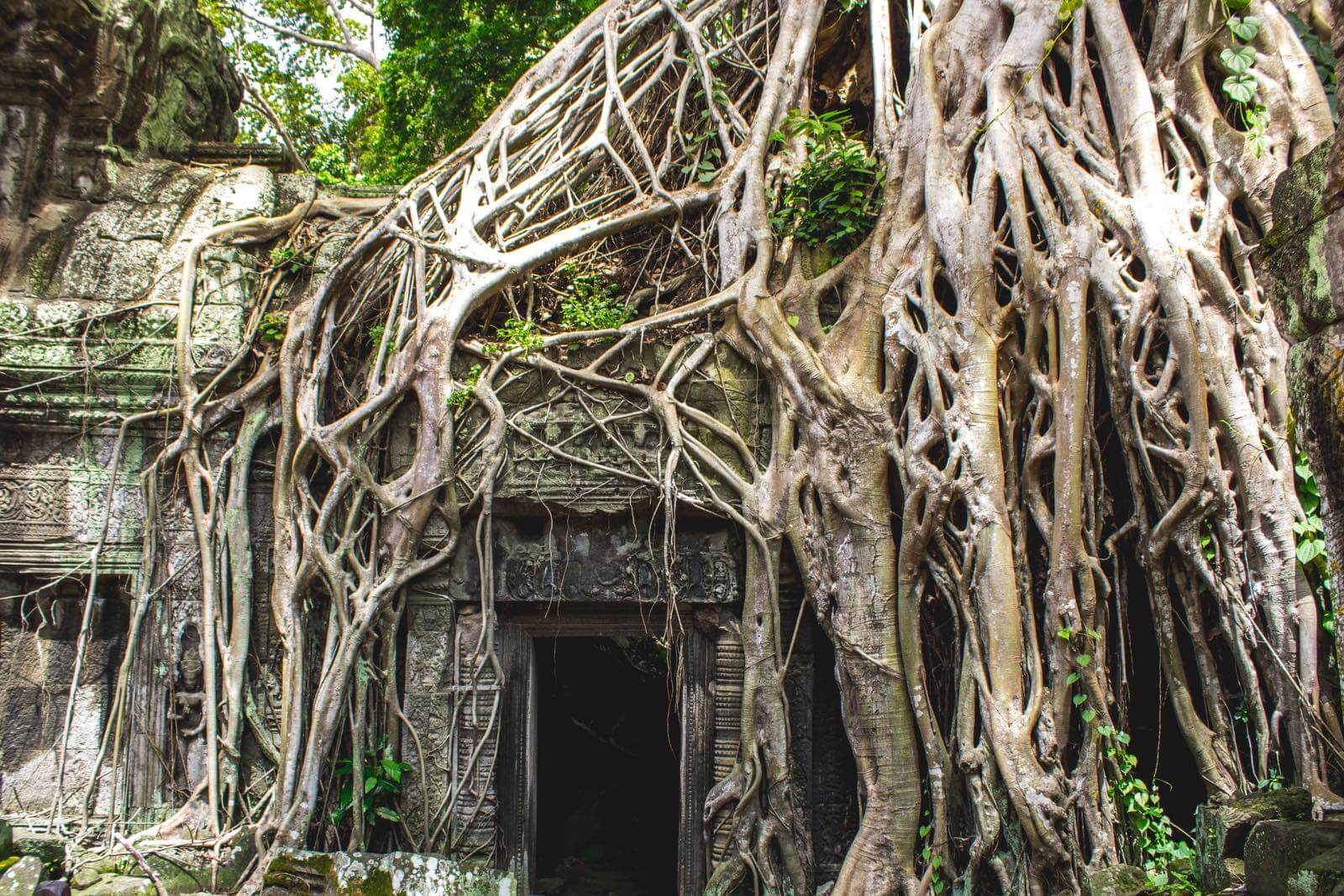 Tree growing over and into a temple in Cambodia
