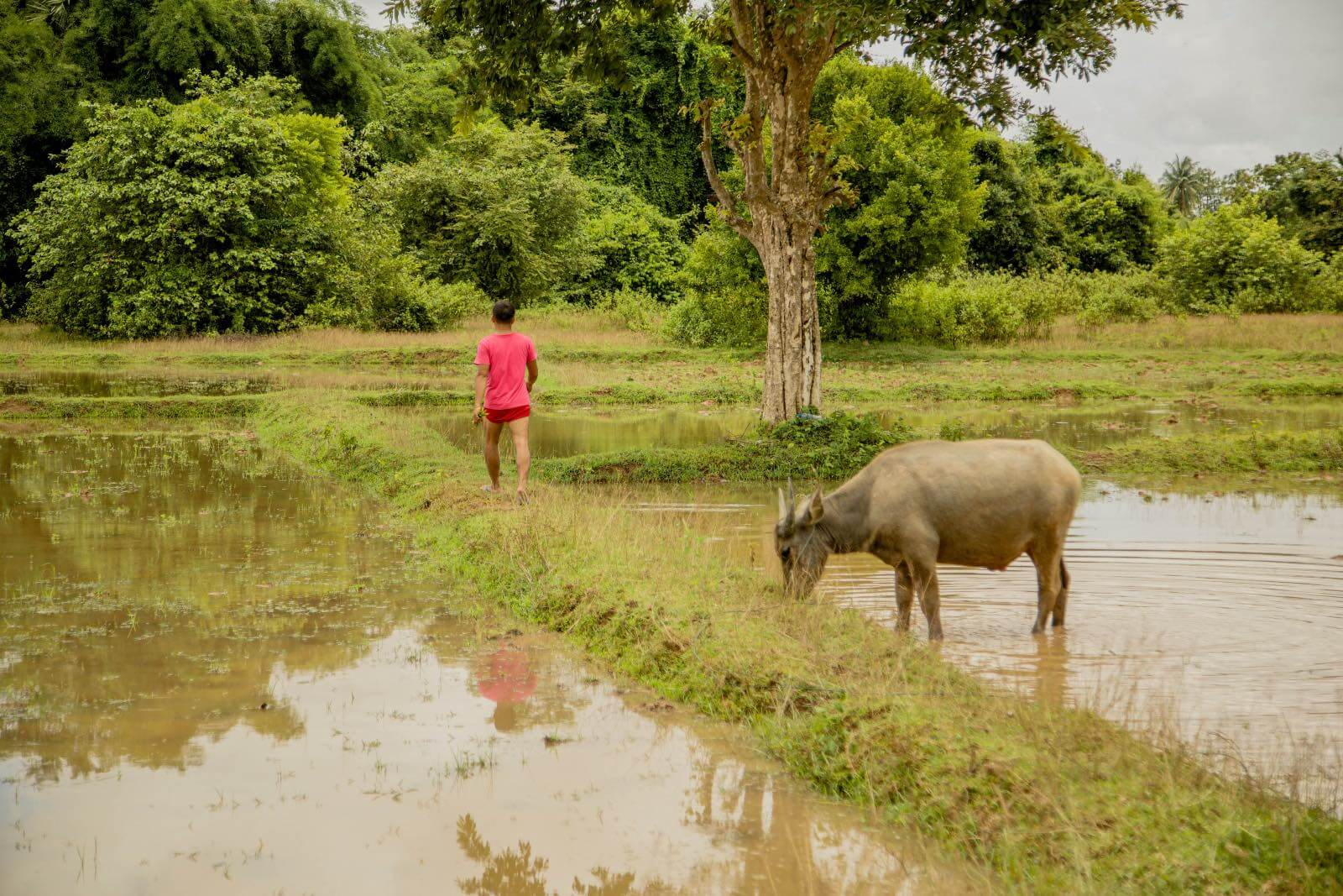 water Buffalo and a man in a field on Don Det, Laos island