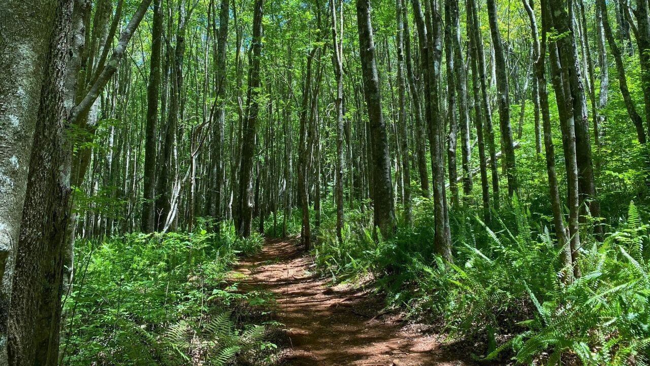 Hiking through Makawao State Forest Reserve Upcountry Maui