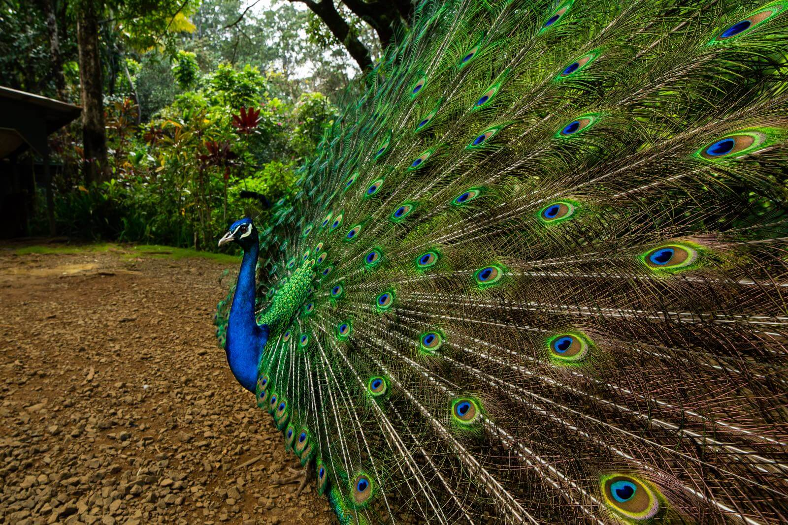a peacock at the garden of eden on the road to Hana