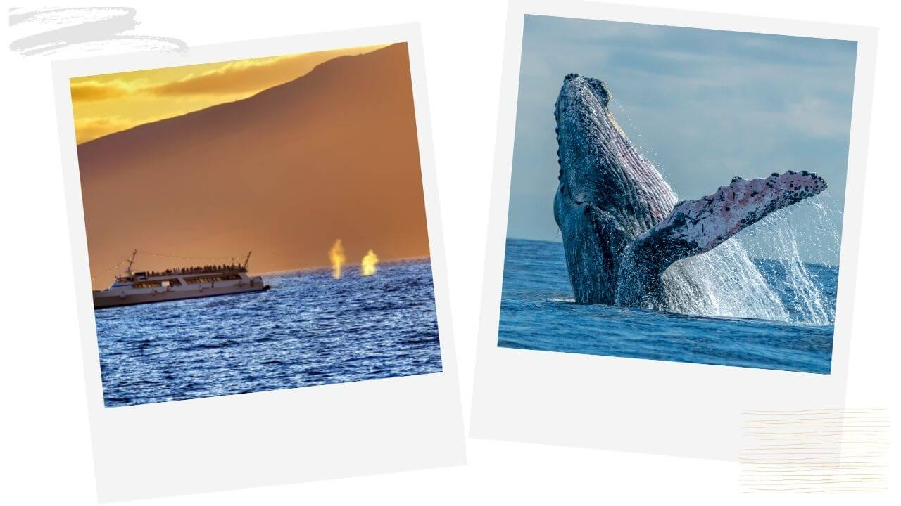 Whale watching one of the best things to do in Maui